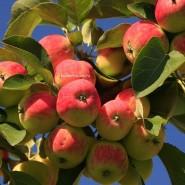 Фестиваль «Яблочный спас» фотографии