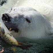 День полярного медведя в зоопарке 2020 фотографии