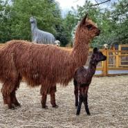 В «Альпака Парке» родился малыш альпака! фотографии