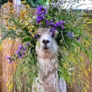 Круглогодичные экскурсии в «Альпака Парке» фотографии