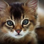 Выставка кошек «РосКошная осень» фотографии