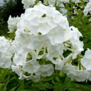 Серия выставок «Цветы наших садов» фотографии