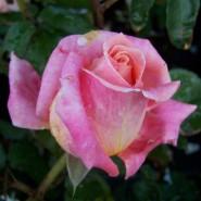 Выставка роз и редких декоративных растений в «Аптекарском огороде» 2019 фотографии