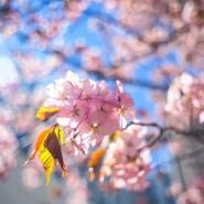 Праздник цветения сакуры в Бирюлевском дендропарке 2021 фотографии