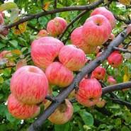 «Яблочный спас» на ВДНХ фотографии