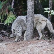 Выставка «Волки. Рожденные свободными» фотографии