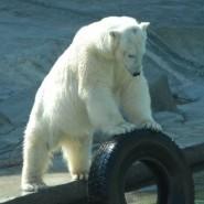 «День белого медведя» в Московском зоопарке 2016 фотографии