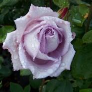 Выставка роз и редких декоративных растений в «Аптекарском огороде» 2018 фотографии