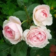 Выставка роз и декоративных кустарников в «Аптекарском огороде» 2017 фотографии