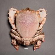 Выставка «8 ног и 2 клешни. Крабы и их сородичи» фотографии