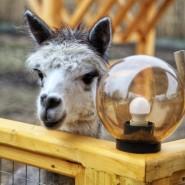 Открытие «Альпака Парка» в семейном парке «Сказка» 2019 фотографии
