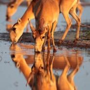 Выставка «Реликтовая антилопа сайгак» фотографии