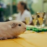 Выставка морских свинок в Биологическом музее 2019 фотографии