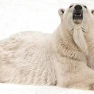 День полярного медведя в Московском зоопарке 2019 фотографии