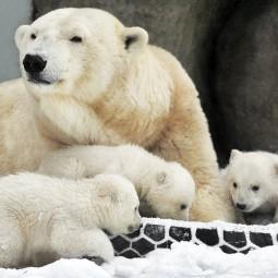 День полярного медведя в зоопарке 2020