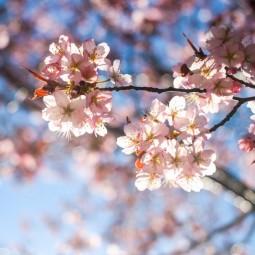 Праздник цветения сакуры в Бирюлевском дендропарке 2021