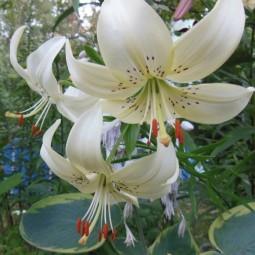 Выставка «Лилии и цветы августа» 2017