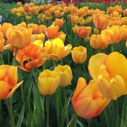 Весенний фестиваль цветов в «Аптекарском огороде» 2019
