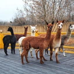 Круглогодичные экскурсии в «Альпака Парке»