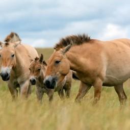 Выставка «Лошадь Пржевальского: последняя дикая лошадь на Земле»