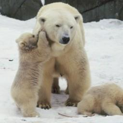«День белого медведя» в Московском зоопарке 2016