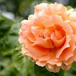 Выставка роз и клематисов в «Аптекарском огороде» 2016