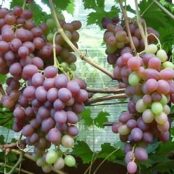 Выставка винограда в «Аптекарском огороде» 2017