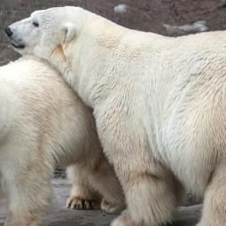 День полярного медведя в Московском зоопарке 2019