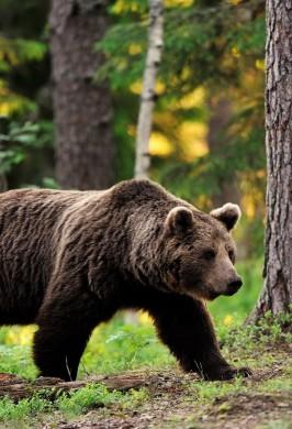 Программа «О медведях»