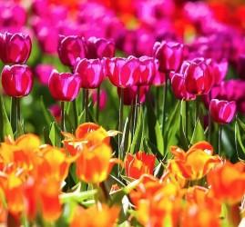 Весенний фестиваль цветов в «Аптекарском огороде» 2021