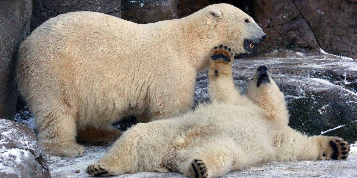 День полярного медведя взоопарке 2020