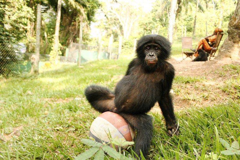 Выставка «Бонобо»