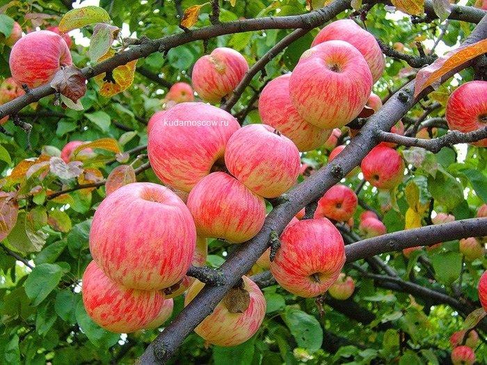 Фестиваль «Яблочный Спас» 2015