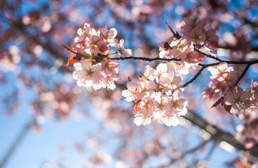 Праздник цветения сакуры вБирюлевском дендропарке 2021