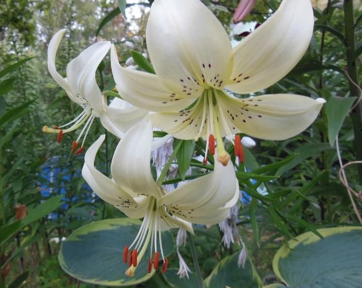 Выставка «Лилии ицветы августа» 2017