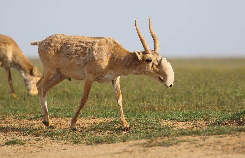 Выставка «Реликтовая антилопа сайгак»