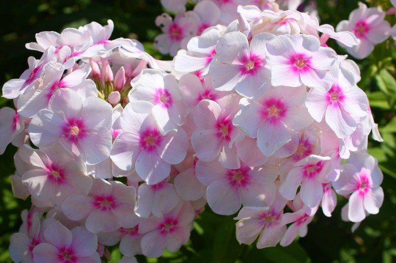 Серия выставок «Цветы наших садов»