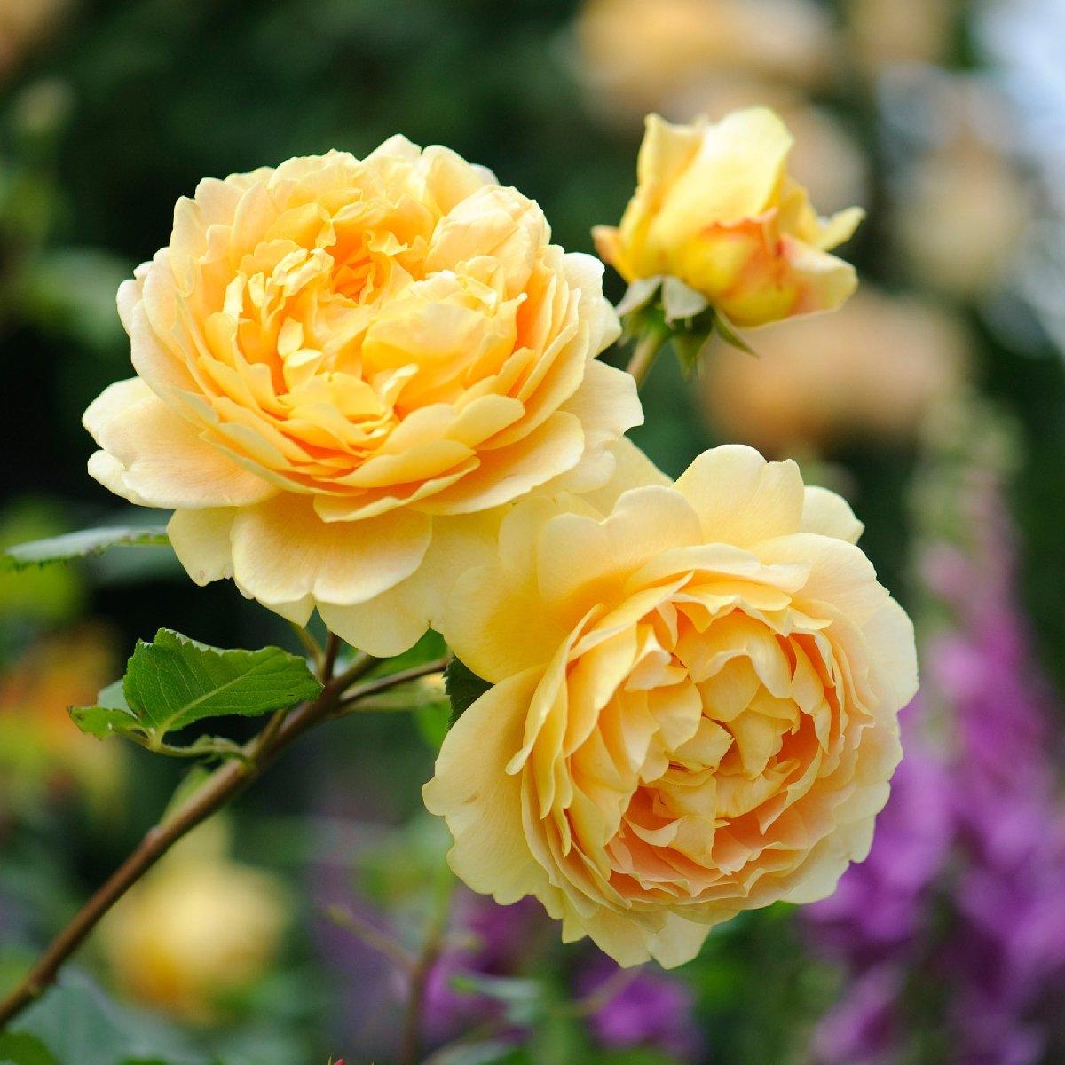 Выставка роз идекоративных кустарников в«Аптекарском огороде» 2017