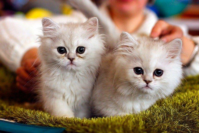 Выставка кошек «РосКошная осень»
