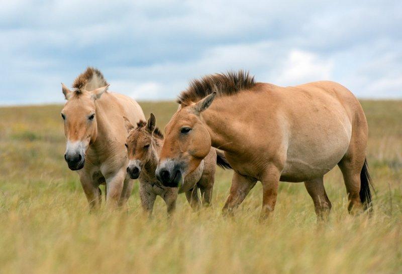 Выставка «Лошадь Пржевальского: последняя дикая лошадь наЗемле»