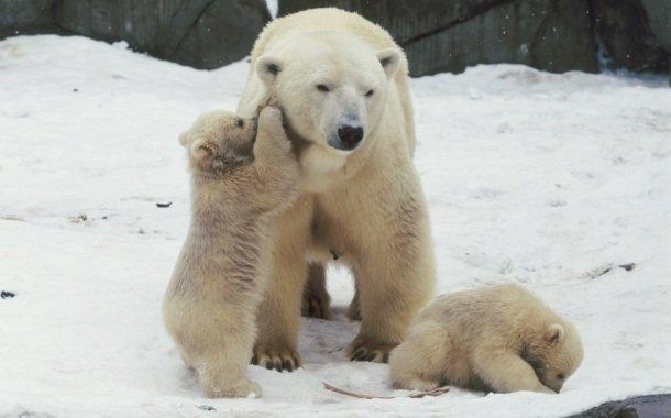 «День белого медведя» вМосковском зоопарке 2016