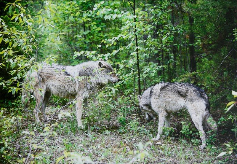 Выставка «Волки. Рожденные свободными»