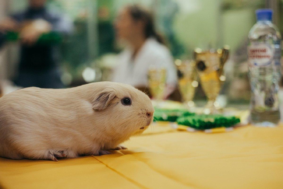 Выставка морских свинок вБиологическом музее 2019