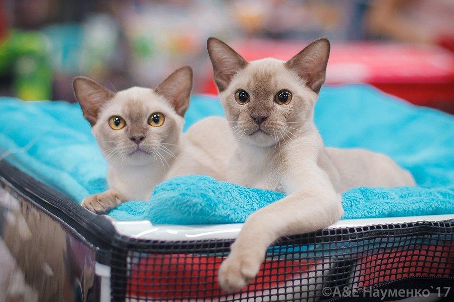 Выставка-продажа котят «КоШарики Шоу»