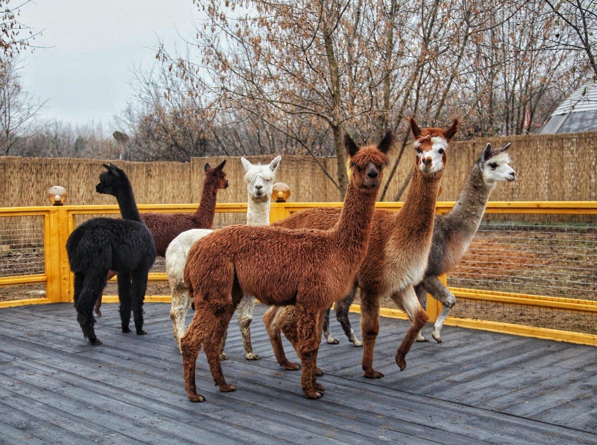 Открытие «Альпака Парка» всемейном парке «Сказка» 2019