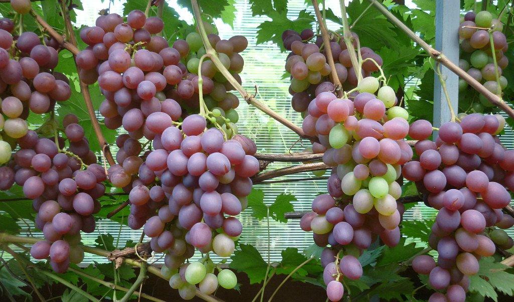 Выставка винограда в«Аптекарском огороде» 2017