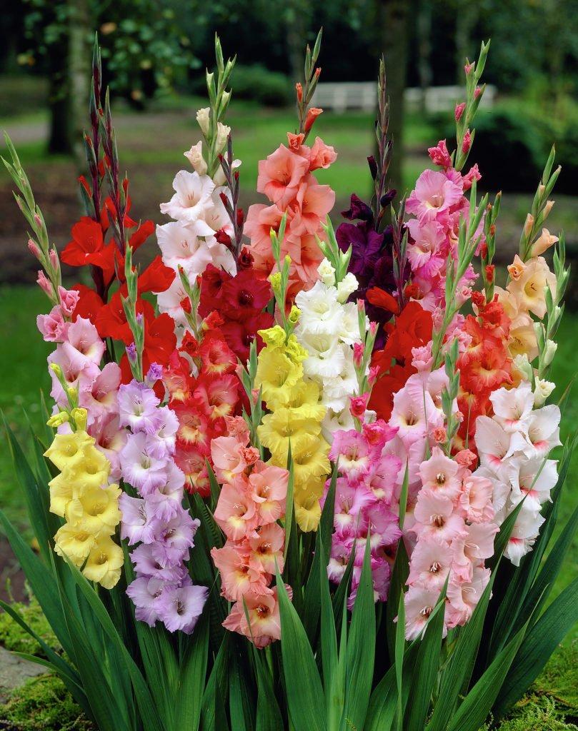 Фото цветов гладиолуса